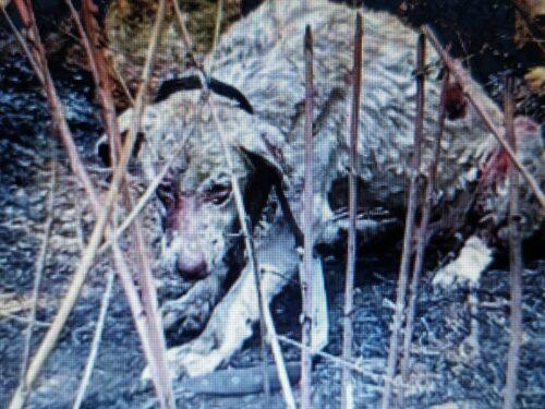 """Sardegna, cane pastore fermo davanti alle fiamme per difendere le """"sue"""" pecore: è pieno di ustioni, ma si salverà"""
